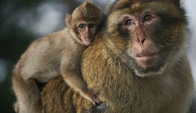 Barbary apes May 17 2014
