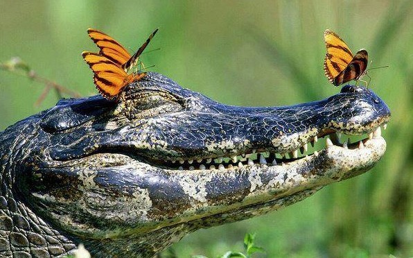 Crocodiles take exception to comparison with Henry Kissinger