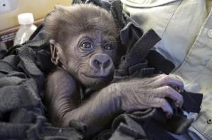 Baby gorilla Sept 26 2014