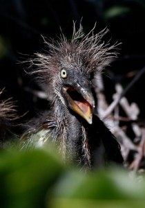 Tricolored heron hatchling at Wakodahatchee Wetlands:Delray Beach, Florida ( Rhona Wise:AFP:Getty Images)