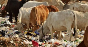 Cows in Lucknow India eating garbage June 10 2017