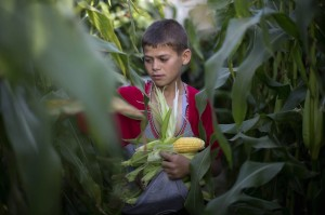 Gaza boy harvessting corn June 3 2014