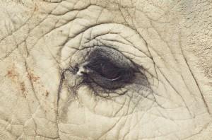 Elephan eyes in zoo (Oscar Ciutat) Sept 18 2014