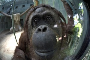Sandra the Orangutan Dec 28 2014