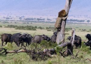 Lion up a tree (Charles Comyn:Barcroft Media) May 25 2015