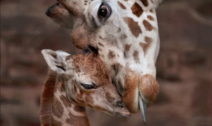 New born giraffe, Chester UK (Steve Rawlins:Chester Zoo) Dec 29 2016