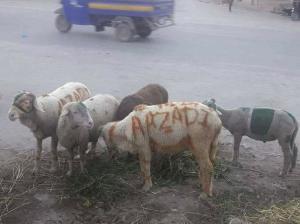 Azadi sheep (Musa Kashmiri) Sept 1 2017